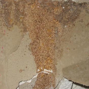Live-termites-plasterboard