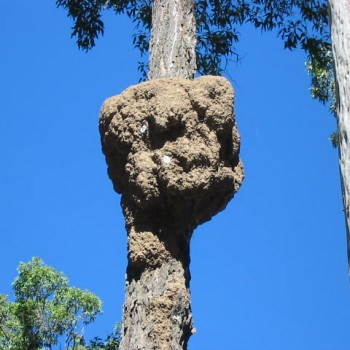 Termite-nest-on-tree