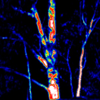 Thermal Image Gum Tree