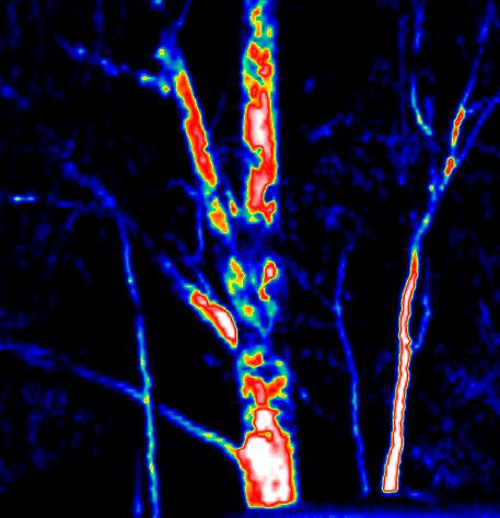 Thermal Image Gum Tree